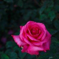 « Много есть цветов на свете ярких и красивых,Но таким цветам, как роза нет альтернативы…» :: Андрей Нибылица