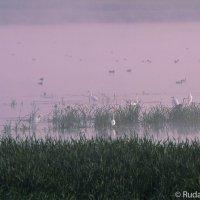 Белые цапли на розовой воде :: Сергей