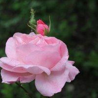 Роза :: Олег Афанасьевич Сергеев
