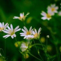 Белые на зелёном :: Игорь К.