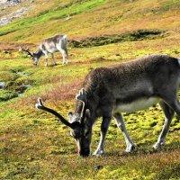 Дикие северные олени :: Tatiana Belyatskaya