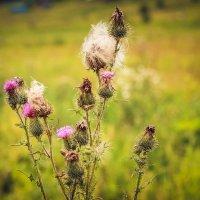 полевые цветы :: Iulia Efremova