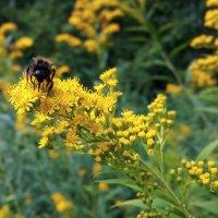Пчела на цветке :: Длинный Кот