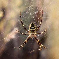 Ядовитый паук Аргиопа (Присивашская степь  Крым) :: Леонид Дудко