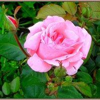 Роза :: Вера