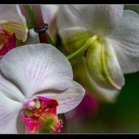 Орхидеи. :: Слава Славуцкий