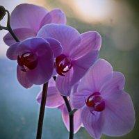 Орхидея на закате :: Валерий Лазарев