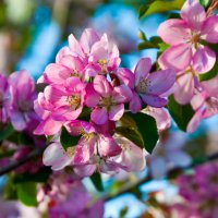 Яблони в цвету :: Константин Батищев