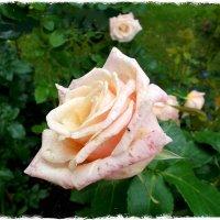 Роза с мушкой :) :: Лия ☼