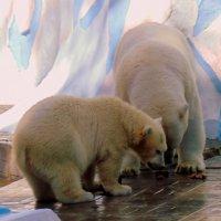 Серия - Белые медведи . Обед. :: Мила Бовкун