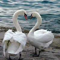 лебединое сердце :: Elena Wymann