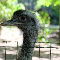 Портрет страуса :: Ольга Васильева