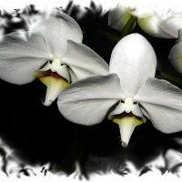 Двое из орхидеи :: Ольга