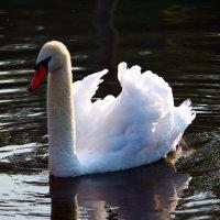 Лебедь :: lapin_valerei@mail.ru