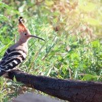 Вот такой Удод, вчера попался! :: Райская птица Бородина
