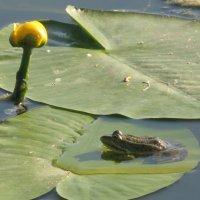 Царевная-лягушка слушает песню Лотоса... :: Алекс Аро Аро