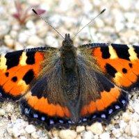 Бабочка :: Юлия Егорова