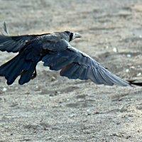 Ворона в полете :: Асылбек Айманов