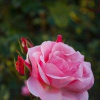 «…Лишь ты одна, царица роза, Благоуханна и пышна….» :: Андрей Нибылица