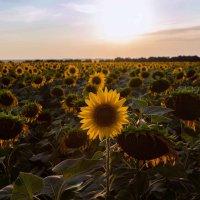 Одинокий подсолнух :: Dmitriy Predybailo