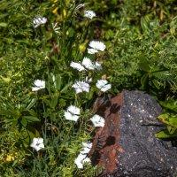 IMG_3895 цветы горные :: Олег Петрушин