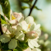 Яблоня в цвету :: Валерий Саломатин
