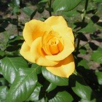 Желтая роза :: татьяна