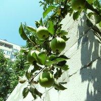 Зреют яблоки :: татьяна