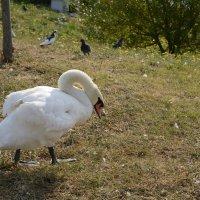 Хозяин... Кто говорил, что в Сочи нет диких Лебедей?.... :: Диана Богдан