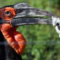 Кафрский рогатый ворон-мышеносец :: Михаил Бибичков