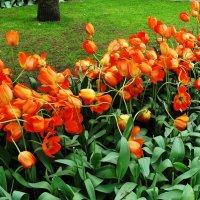 Голландские тюльпаны :: svk