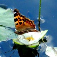 бабочка на кувшинке :: Анна