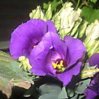 Цветы украшают мой дом :: Елена Семигина