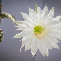 Цветок кактуса :: Сергей Старовойт