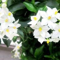 Белые красавицы :: татьяна