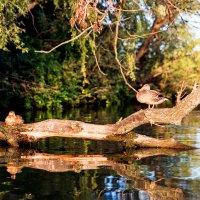 Ducks on the tree :: Sergey Sergaj