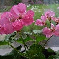 Розовая нежность. :: zoja