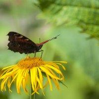 Бабочка на солнышке :: Елена Попова