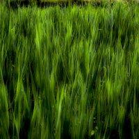Травяное море :: Роберт Гресь