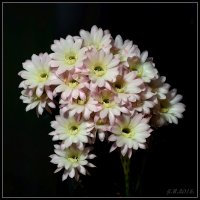 Цветы кактуса.2 :: Jossif Braschinsky