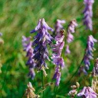 Цветы на поле растут :: Света Кондрашова