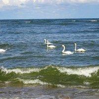 Морские волны ласкают плывущих лебедей :: Маргарита Батырева