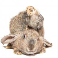 Кролик и цыплёнок :: Alex Bush