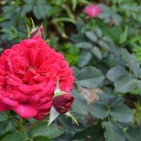 Домашние розы :: Марта Новик