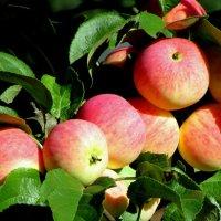 Яблочный год :: irina