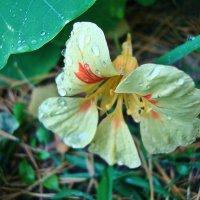 Настурция под дождем :: Лидия (naum.lidiya)