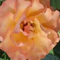 Ещё цвету - ещё надеюсь ... :: Galina194701
