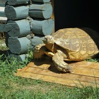 В зоопарке Ростова-на-Дону. Шпороносная черепаха Фиона весит больше 100 килограммов :: Татьяна Смоляниченко