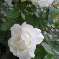 Роза белая :: Анатолий