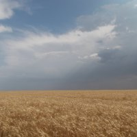 Пшеничное поле :: Наталья А